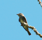 _dsc0066[327] (flycatcher)